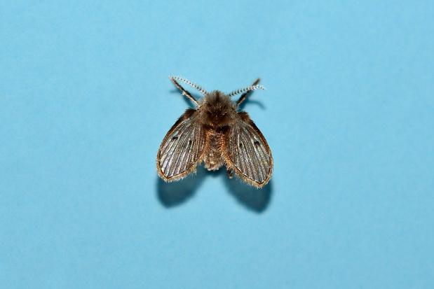 Beestenboel: de wc-motmug blijkt een uitstekende afvalopruimer