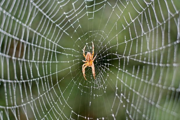 Hoeveel kruisspinnen kan je spotten in jouw tuin?