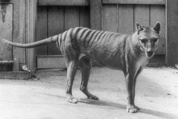 Nieuw filmpje opgedoken van de tachtig jaar geleden uitgestorven Tasmaanse tijger