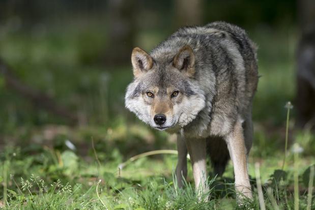 Territorium van Duitse Akela is decor van kindvriendelijke expo 'Wolf'