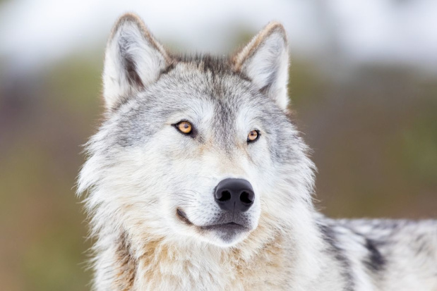 De terugkeer van de wolf