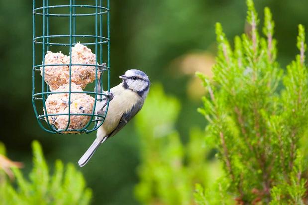 Vogels verzorgen in de koudegolf: voer moet voldoende energie leveren