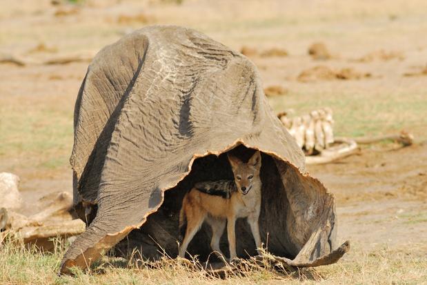 Massale olifantensterfte in Botswana veroorzaakt door blauwalg