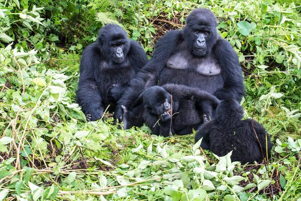 Ook berggorilla's lopen het risico corona te krijgen