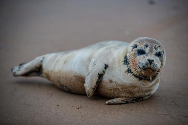 Meer zeehonden en 'vreemde gasten' in Belgische Noordzee