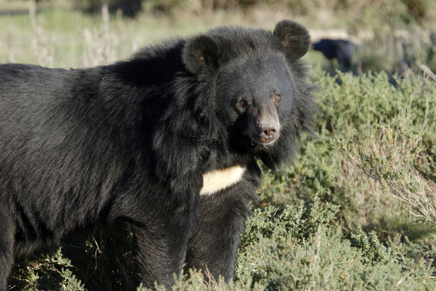 Zo brengt Zuid-Korea de beer terug in een land met 52 miljoen mensen