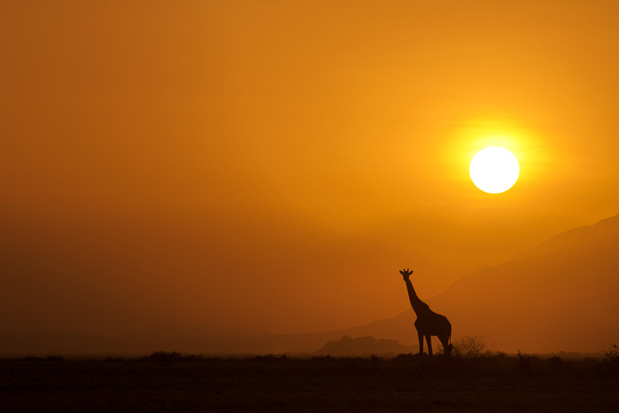 Enige nog levende witte giraf uitgerust met gps