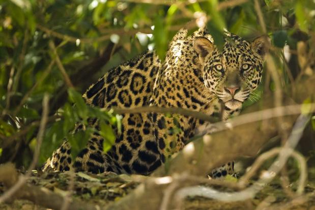 Latijns-Amerika moet actie ondernemen om jaguar te redden