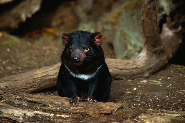 Tasmaanse duivel wordt geherintroduceerd op Australische vasteland