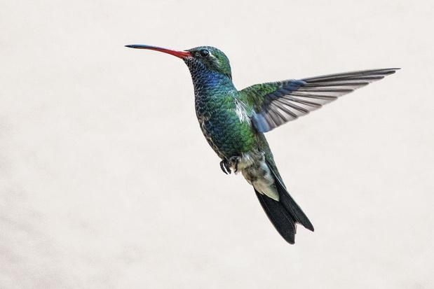 Kolibrie-energie