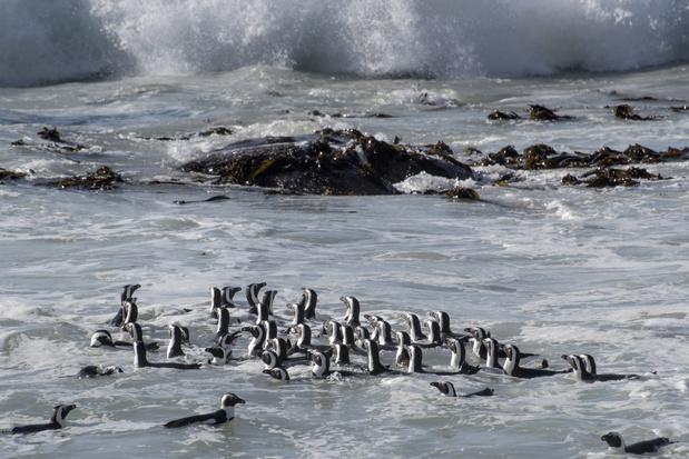 64 pinguïns gedood door zwerm bijen in Zuid-Afrika