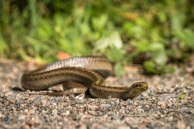 Beestenboel: de gladde slang illustreert dat voeding soms dwingender kan zijn dan seks