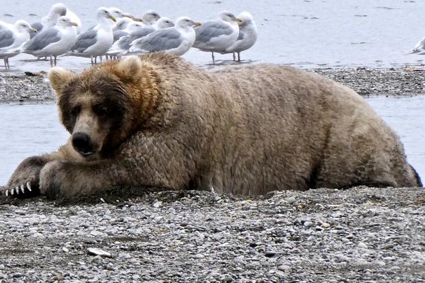Fat Bear Week in Alaska: welke beer is het dikst en wint de wedstrijd?