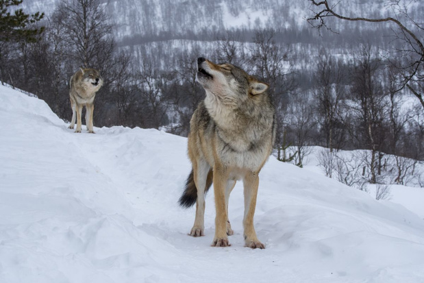 Wanneer huilen onze wolven?
