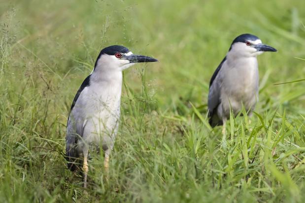 Zeldzaam broedgeval kwak toont natuurherstel reservaatzone Donkmeer