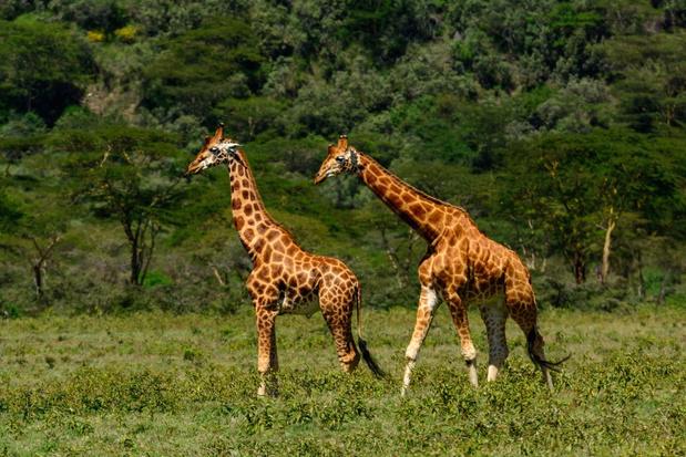 Giraf per boot vervoerd vanaf Keniaans eiland dat onderwater dreigt te verdwijnen