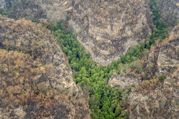 Prehistorische bomen in het geheim gered uit de grote branden in Australië