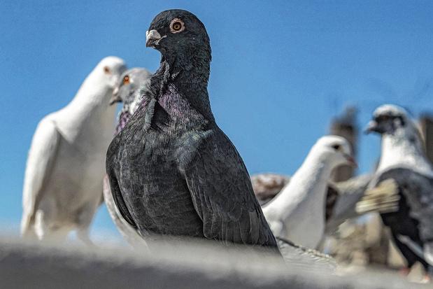 Pigeons rouges, pigeons bleus