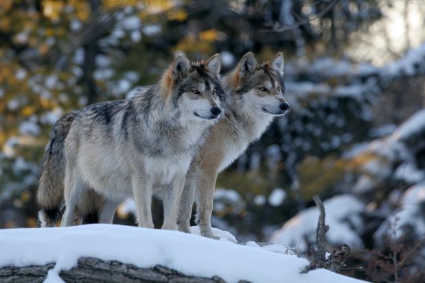 Grijze wolf wordt geherintroduceerd in Colorado