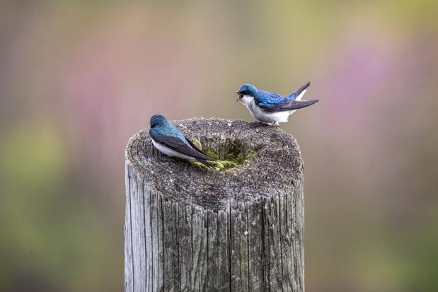 Vogels broeden steeds vroeger en dat is riskant