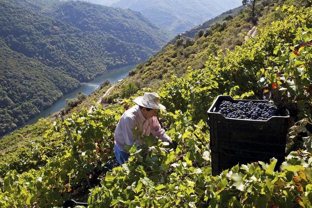 Ruig én verfijnd: de nieuwe druif mencía verovert haar plaats in Spanje
