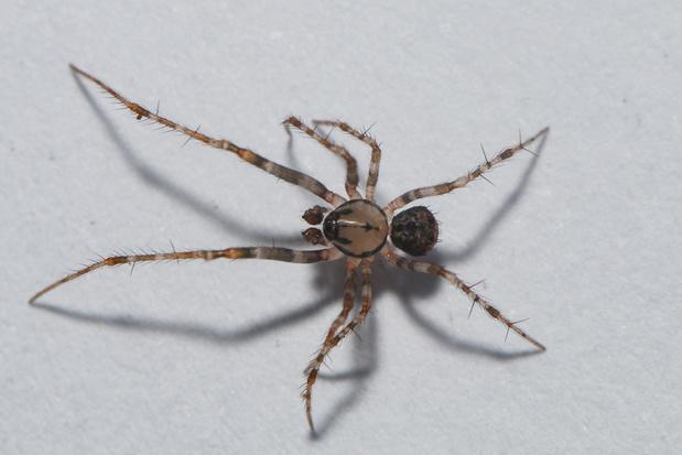 Beestenboel: de gevorkte spinneneter is verkozen tot ... spin van het jaar 2021