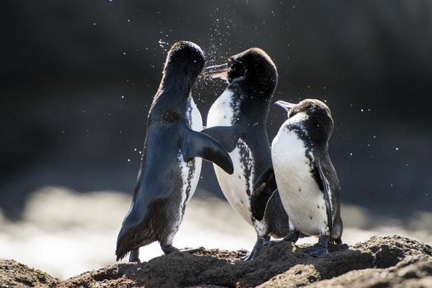 Door covid-19 groeit het aantal pinguïns en aalscholvers op de Galapagoseilanden spectaculair