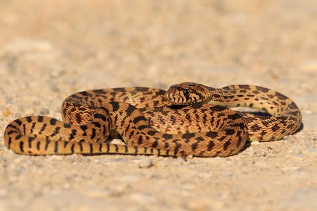 Amerikaanse stierslangen settelen zich in de duinen bij Den Haag