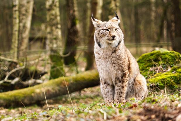 2020 was het jaar van de comeback van grote zoogdieren in België