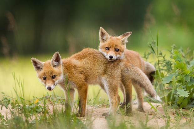 Op het platteland en in de stad: de vos is alomtegenwoordig
