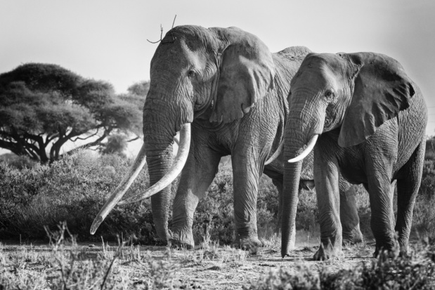 Big Tim, een van de laatste reuzenolifanten in Kenia, overleden