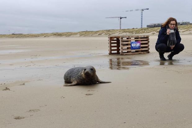 Sea Life laat twee zeehonden vrij in de zee