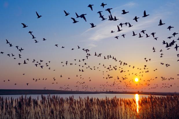 Meer dan 160.000 trekvogels geteld boven België in een weekend
