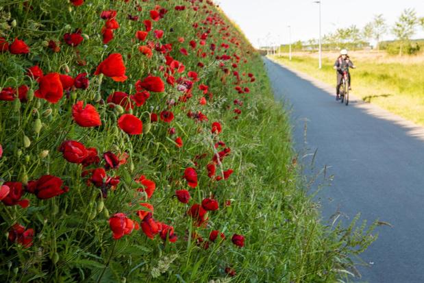 Klaprozen alom langs autosnelweg A11 en lager liggend fietspad richting Knokke-Heist