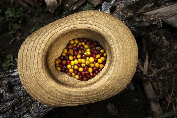 Koffieoogst in Brazilië loopt gevaar: koffie kan fors duurder worden