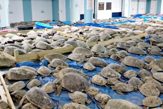 Video: vrijwilligers redden duizenden zeeschildpadden in door extreme koude getroffen Texas