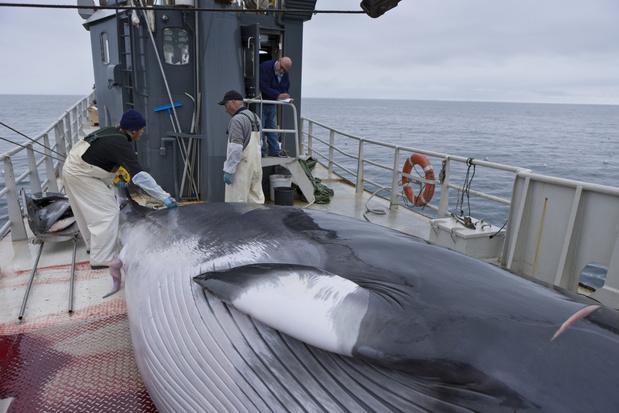 In IJsland wordt er voor het tweede jaar op rij niet op walvissen gejaagd