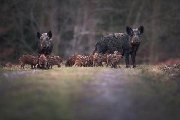 Landschap vzw: 'Everzwijnenprobleem zou kunnen verdwijnen door de coronamaatregelen'