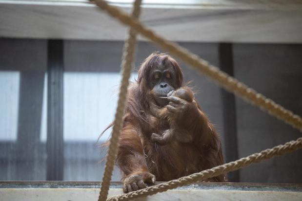 Uiterst zeldzame orang-oetan geboren in Pairi Daiza