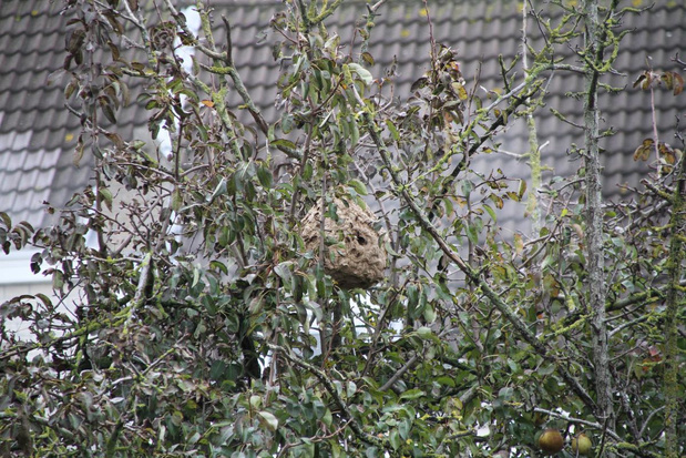 Brandweer verwijdert nest Aziatische hoornaars in Oostende