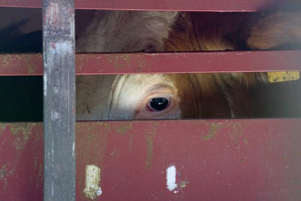 'Dat transport van levend vee in tijden van corona gewoon doorgaat, is schuldig verzuim'