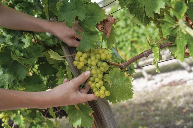 Le marché du vin bio, la poussée verte