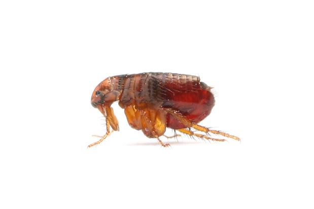 Beestenboel: de vlo heeft mogelijk een grote rol gespeeld in de evolutie van de mens