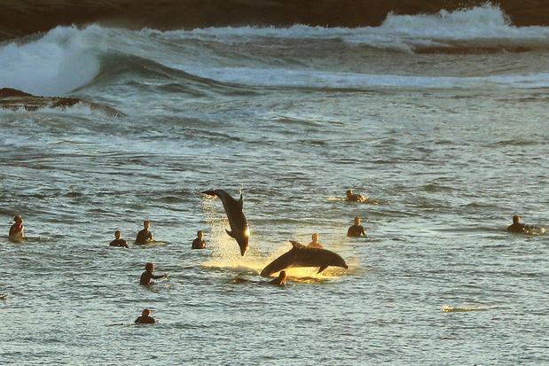 Dolfijnen worden doodziek door klimaatverandering