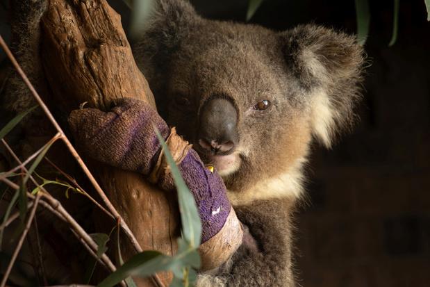 Koala's en 112 andere diersoorten hebben 'dringend' hulp nodig na bosbranden