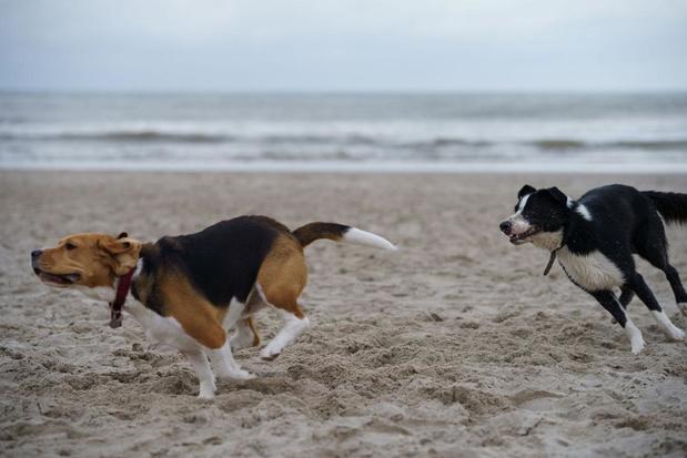 Honden zijn weer toegelaten op het strand van Knokke-Heist