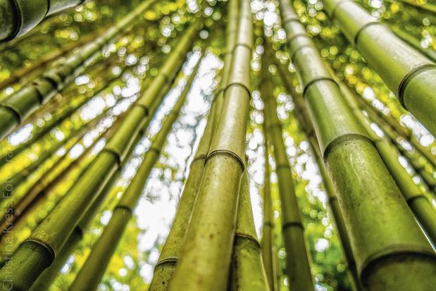 Toxique, le bambou ?