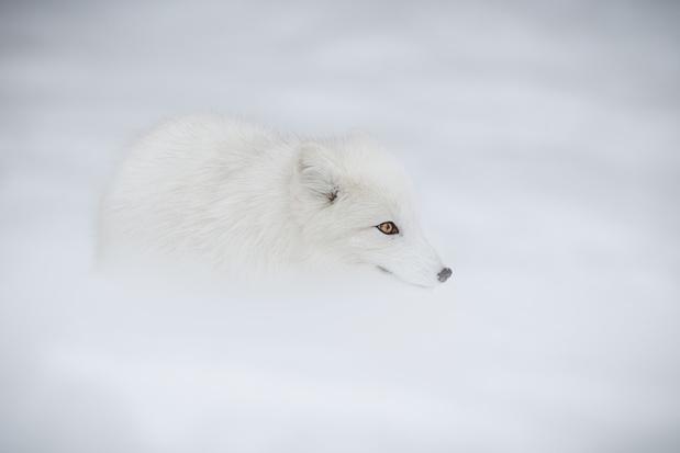 Rode vos verdringt poolvos, met dank aan zwerfvuil