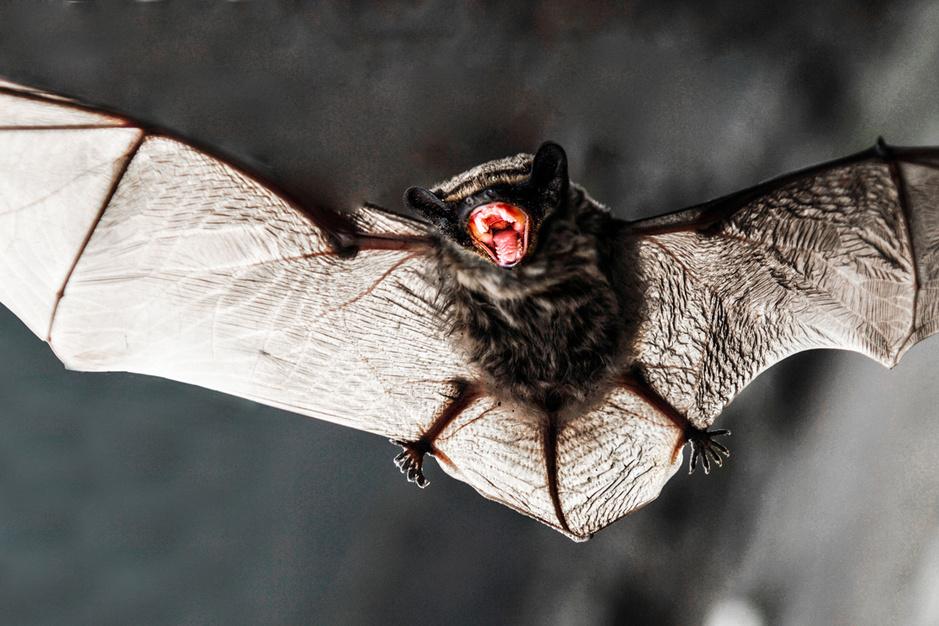 De strijd tegen het coronavirus: 'Een massale klopjacht op vleermuizen heeft geen zin'