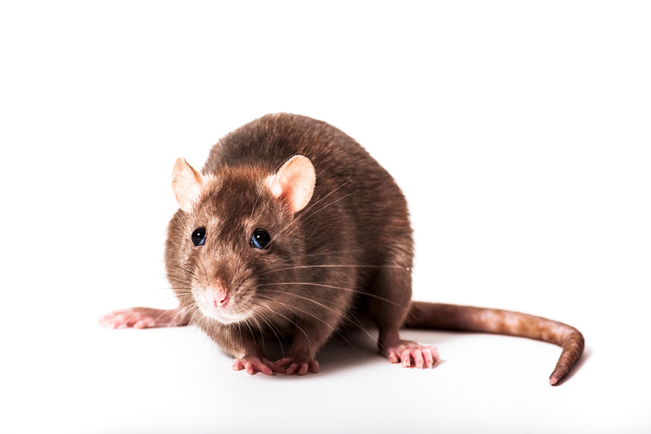 De ratten van New York hebben zich aangepast aan de stadsjungle